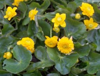 Odmiana 'Flore Pleno' http://www.pondplants.co.uk/pages/files/core/marginals1.sphp